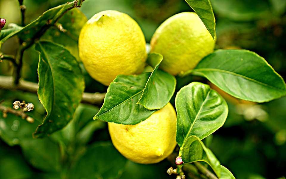 Citrus Pflanzen