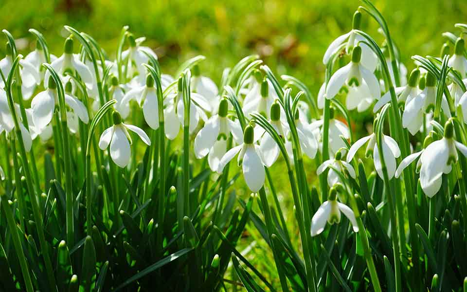 Galanthus - Schneeglöckchen