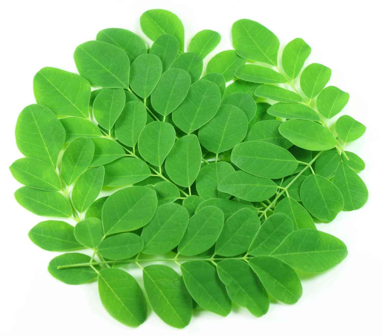 keine Hybride Meerrettichbaum 50-3000 Samen Moringa oleifera naturbelassen