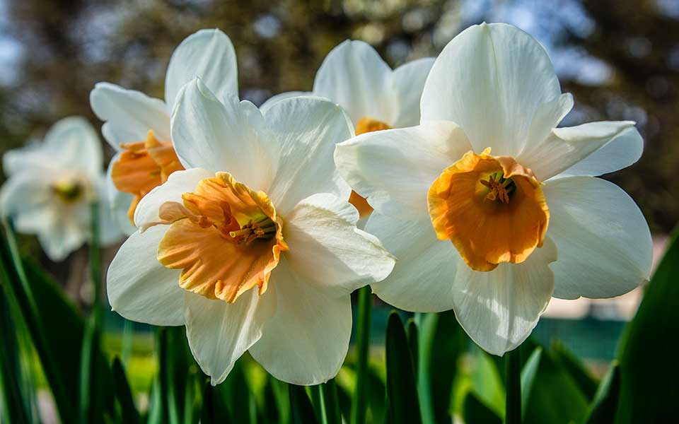 Narcis - Narzissen